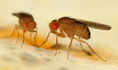 Male fruit flies. {credit: Mala Murthy, assistant professor of molecular biology and the Princeton Neuroscience Institute.}