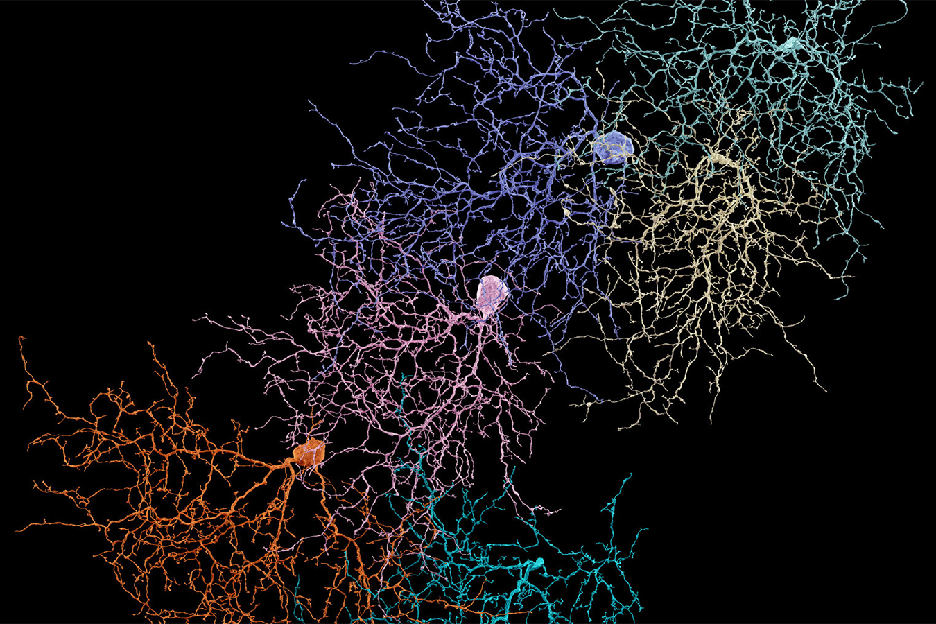 Several distinct neurons in a mouse retina that have been mapped by volunteers playing a game developed by Sebastian Seung. {Credit Photo illustration by Danny Jones. Original images from EyeWire.}